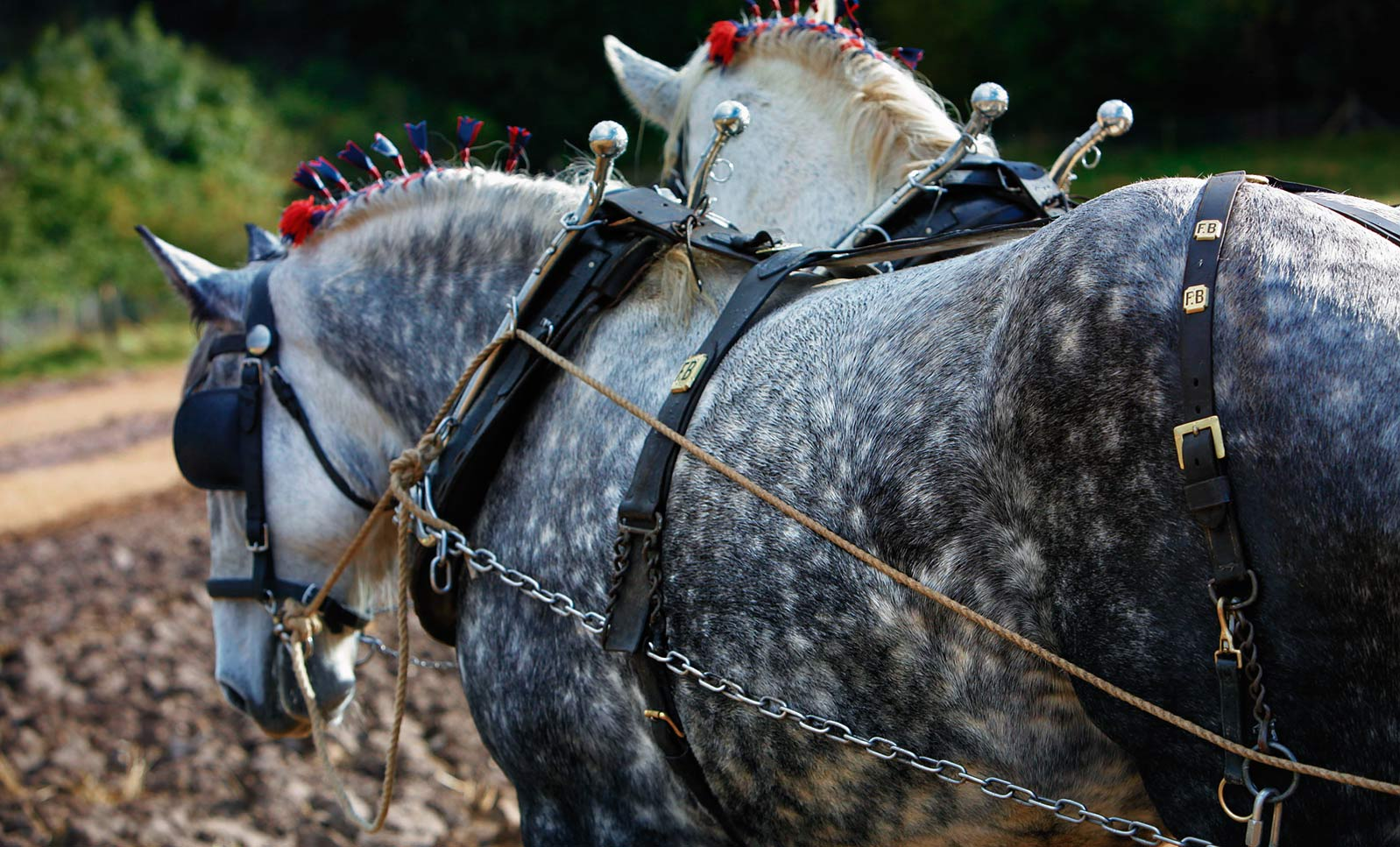 ALT-Pair-of-Chareford-Percherons-ploughing