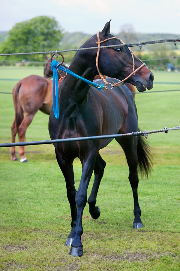 Black-polo-pony-Cowdray