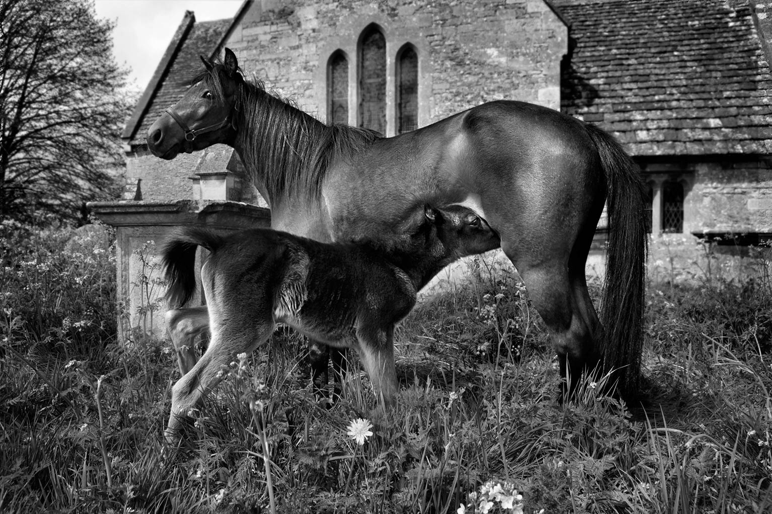 Caspian mare and foal