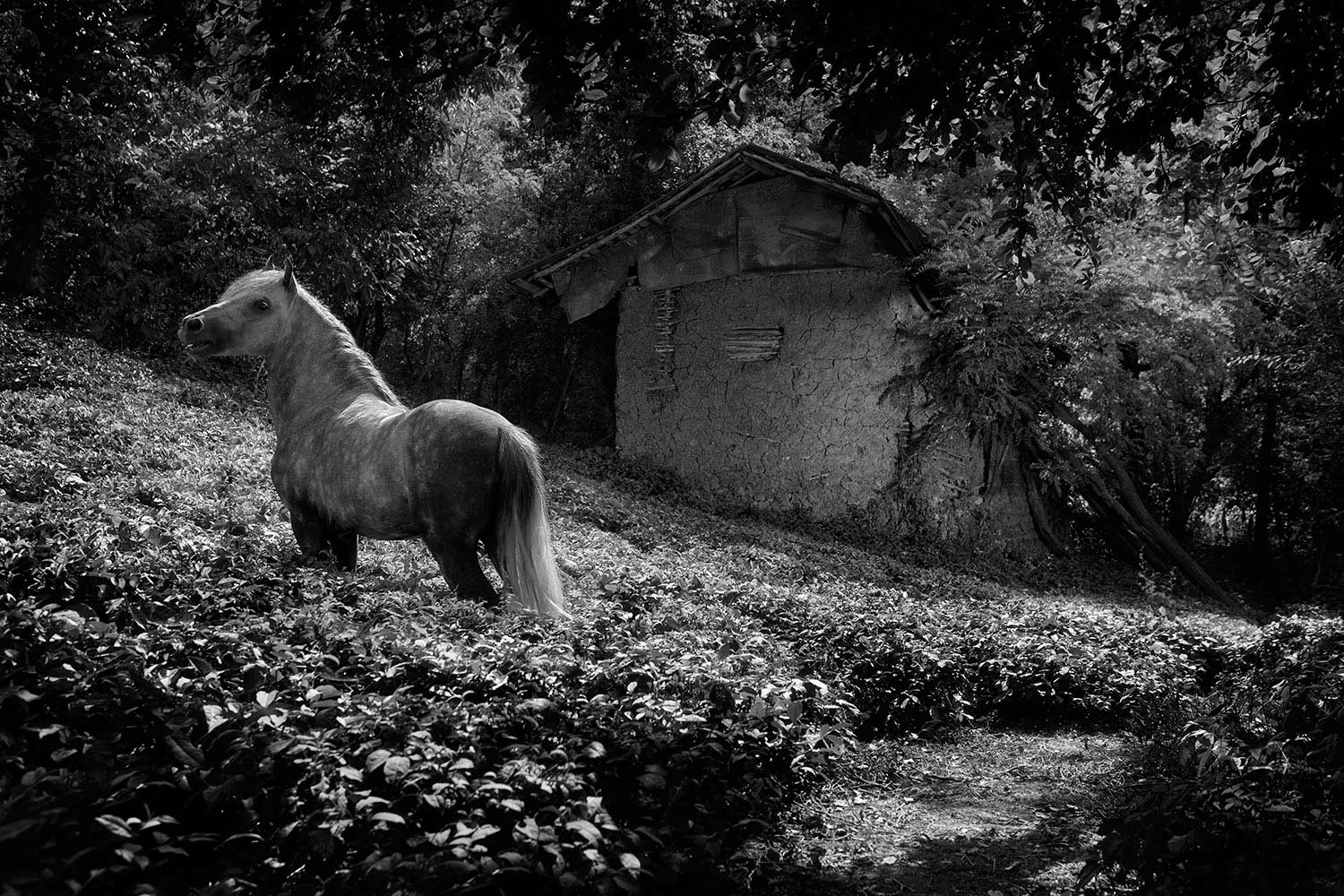 Caspian Stallion in tea plantation