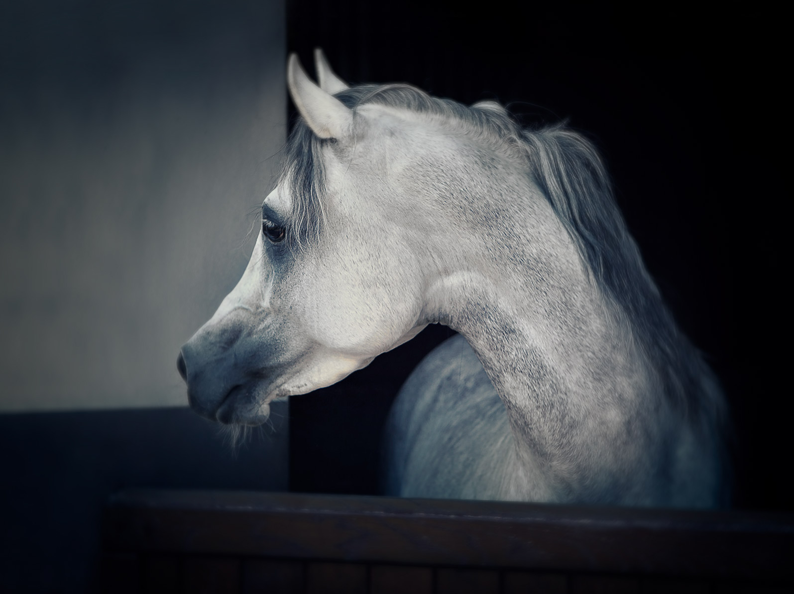 Dapple Grey Arabian Stallion