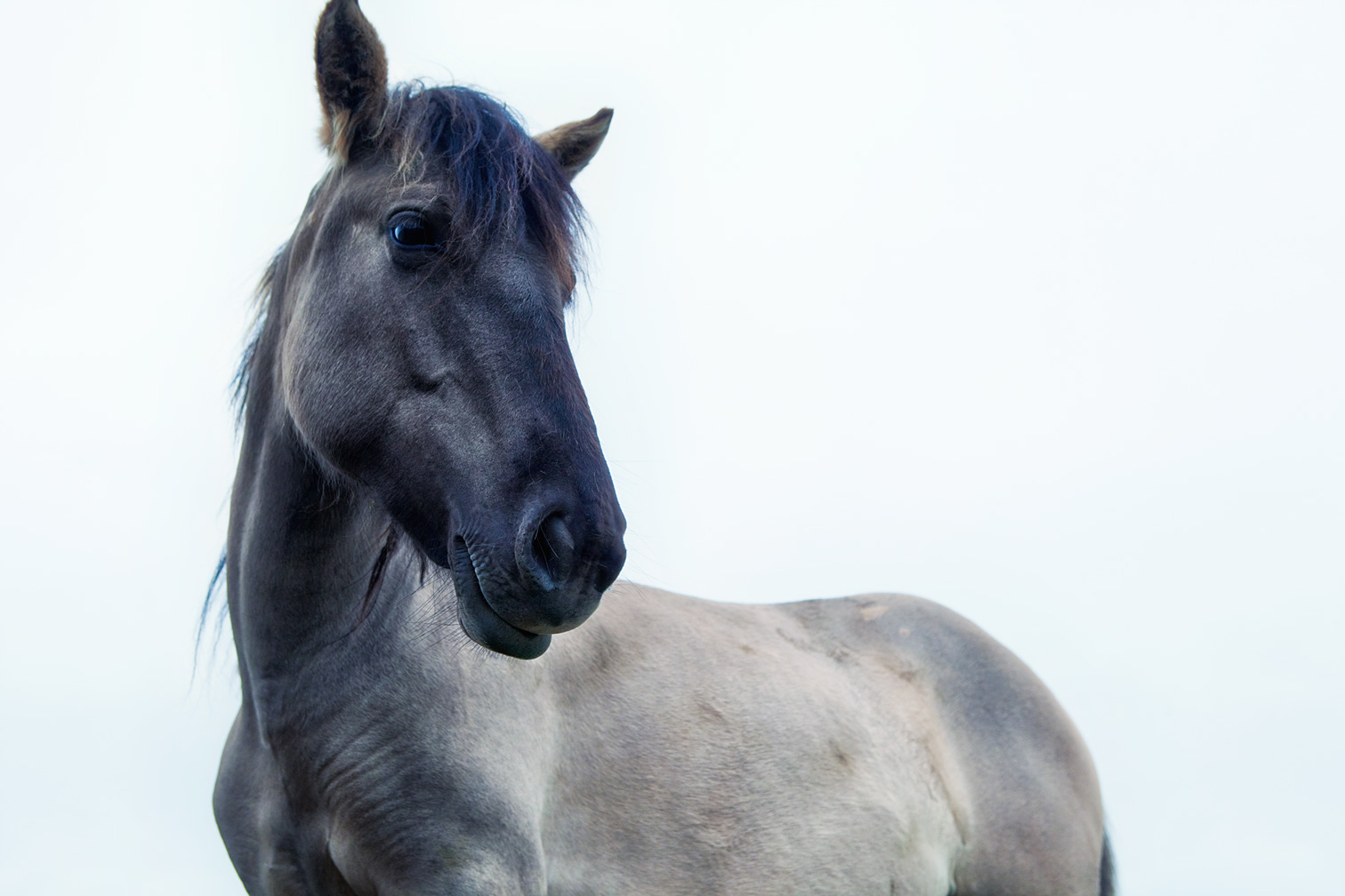 KONIK-HORSE-low-view-of-head-copy
