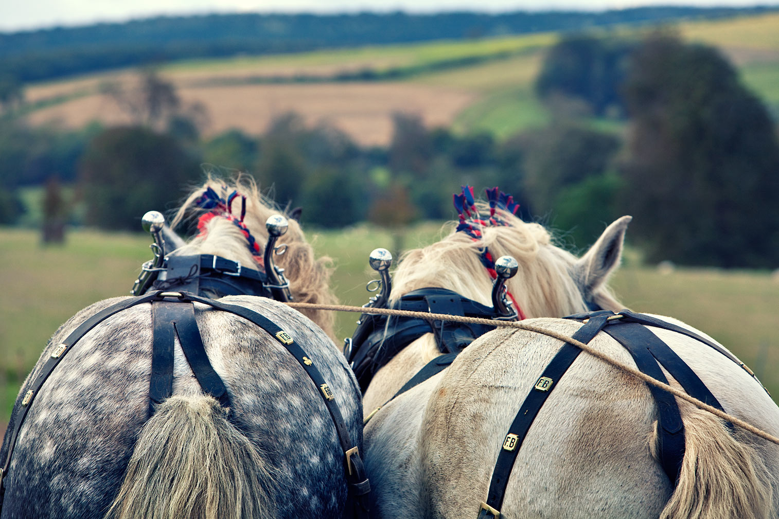 Percherson-Heavy-Horses-in-front-of-The-South-Downs