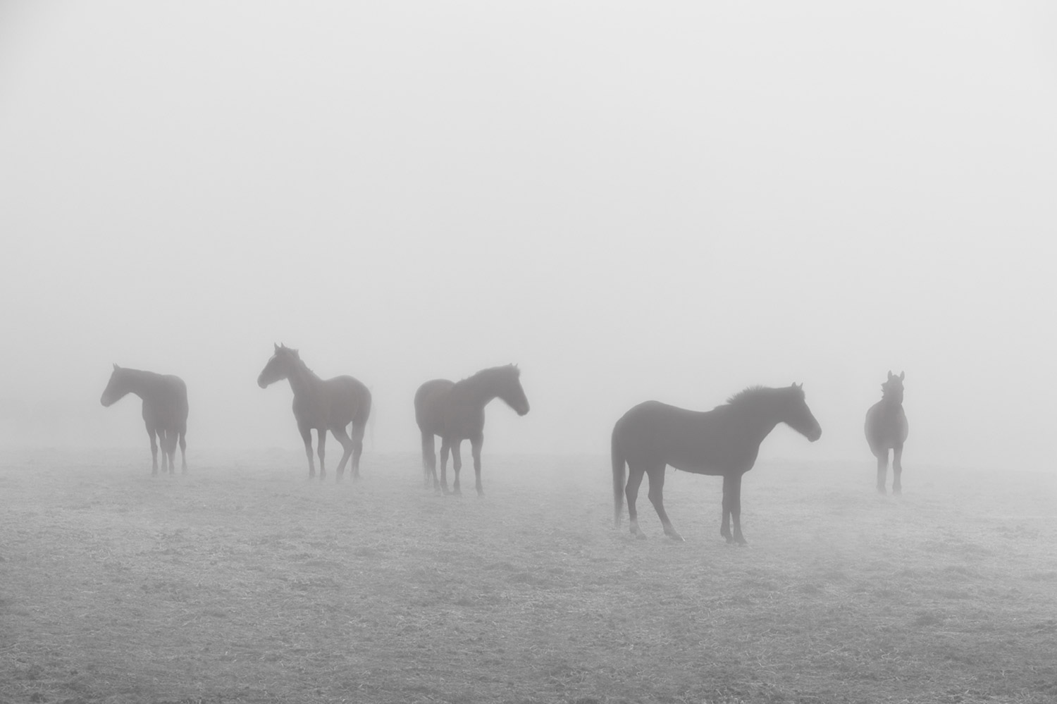 Six-Polo-Ponies-in-the-mist