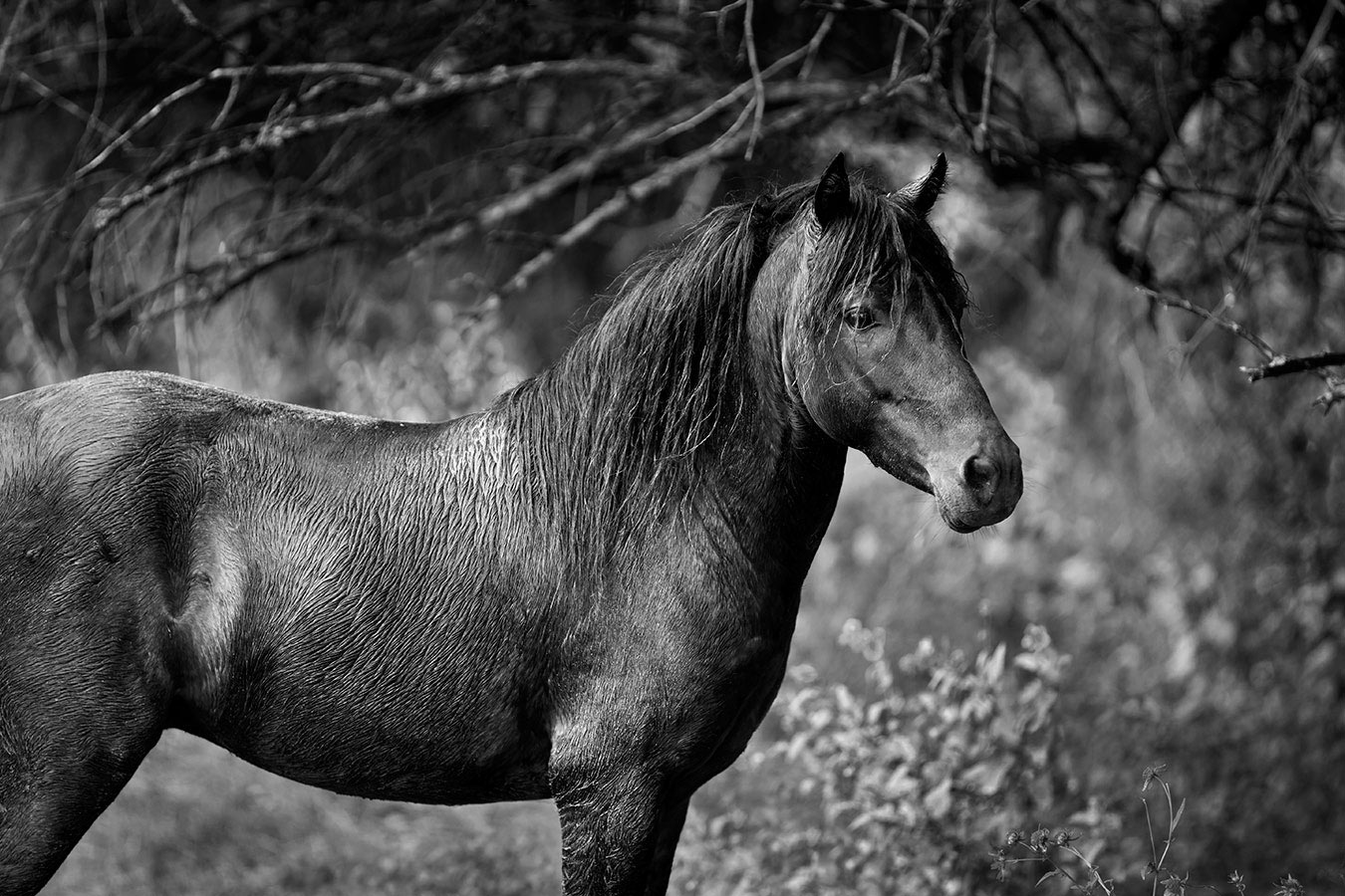 Texan-Stallion-in-the-rain-Black-White