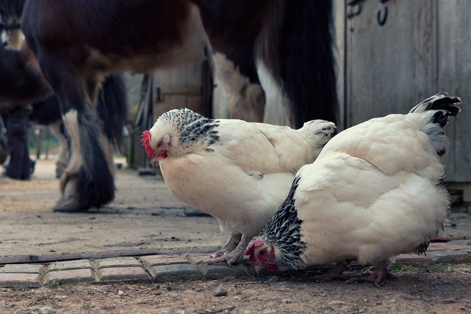 Traditional-Sussex-chickens-with-the-shires