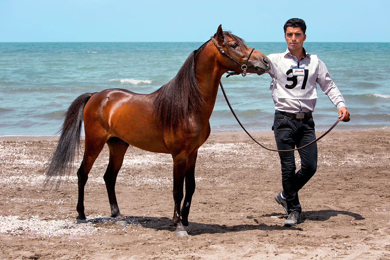 Champion Caspian Stallion in Iran